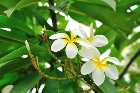 plumeria on a white background: White flowers with green background of leaves in Bangkok, Thailand. Stock Photo