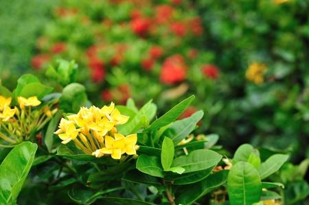 stamin: Yellow ixora Stock Photo