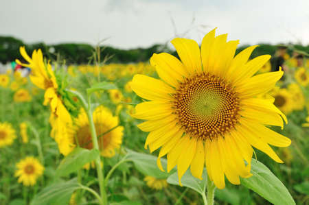Sunflower Stock Photo - 9769633