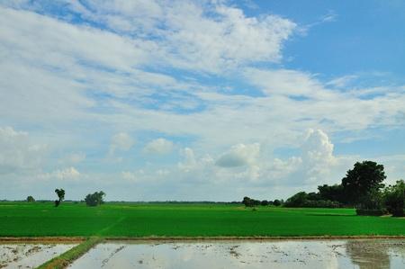 Rice field in Sukhothai, Thailand. photo