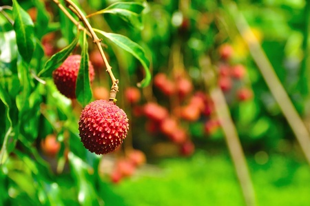 lychee: Thai Lychee in the garden. Stock Photo