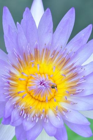 Purple lotus Stock Photo - 10322823