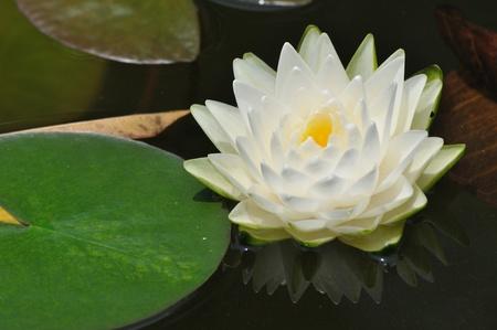 lirio acuatico: Flor nenúfar ro poco blanco lotus