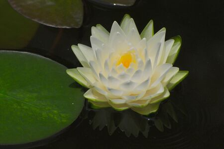 Blooming water lily ro little white lotus photo