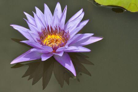 Blooming purple lotus in Bangkok, Thailand. photo