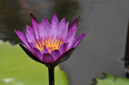Blooming purple lotus in Bangkok, Thailand. Stock Photo - 10371898