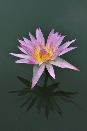 Blooming pink lotus in Bangkok, Thailand. photo