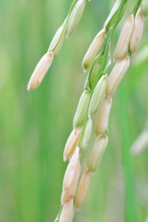 Close up of rice seed or paddy.