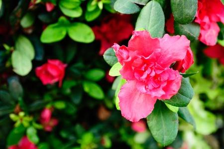 Rhododendron arboreum flower or Azalea flower  photo