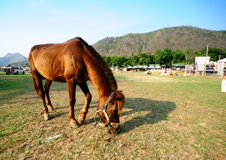 Brown horse eating grass in the field in Petchaburi, Thailand. photo