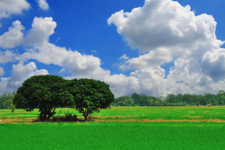 Tree in rice field with blue sky photo