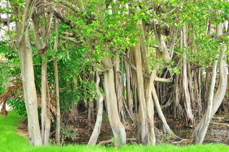 banyan tree: Pattern of Trunk of Banyan tree