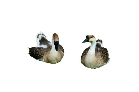 Isolated Goose with clipping path photo