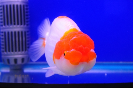 Lion head gold fish with red and white color in blue tank Stock Photo - 21654153