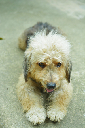 pyrenean: Cute Furry Dog lie down on Concrete floor Looking at the Camera.  It is Mixed-breed dog. Stock Photo