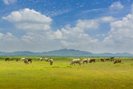 pastoral scenery: Group of Cow crowd walking and eating Green Grass beside lake of Lam Takong Under Summer Cloudy Blue sky in Nakhon Ratchasima in Thailand
