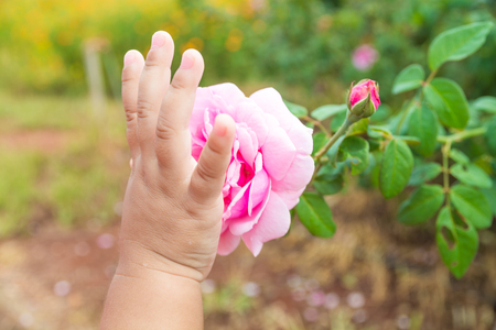 Hand of Kids or Children touching Pink rose Plant in Rose Garden as Eco-friendly or Environment Conserving Concept.