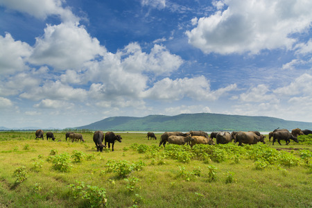 Group of Buffalo crowd walking and eating Green Grass beside lake of Lam Takong Under Summer Cloudy Blue sky in Nakhon Ratchasima in Thailand