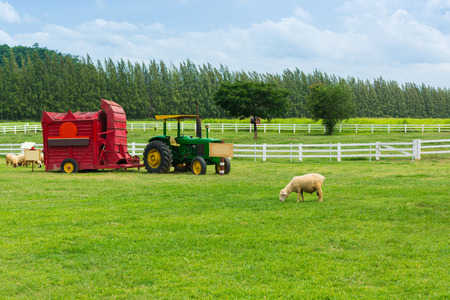 Shorn Sheep eating grass in grass field Meadow with Vintage Straw Hay Baler tractor