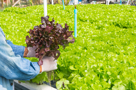 Hydroponics Organic Agriculture Farm System harvest, Farmer Hand holding vegetables, Green and Red Salad Lettuce, from Plastic Pipe in his hands as Harvesting in Modern Agricultural Farming.