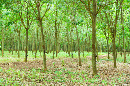 Abandoned Rubber Plant Garden in Thailand.  It is Economical tree because Milky Latex extract from tree is source for Natural Rubber. Zdjęcie Seryjne