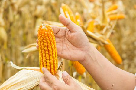 Hand- oder männlicher oder männlicher Landwirt, der Maiskolben auf Pflanzen im Feld oder auf der Wiese als Agro-Industrie- oder Landwirtschaftskonzept hält oder erntet.