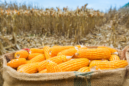 Harvested Fresh Raw Corn cobs in burlap sack left in the field with Dry Corn Plant as Agriculture Farming concept Background. Standard-Bild