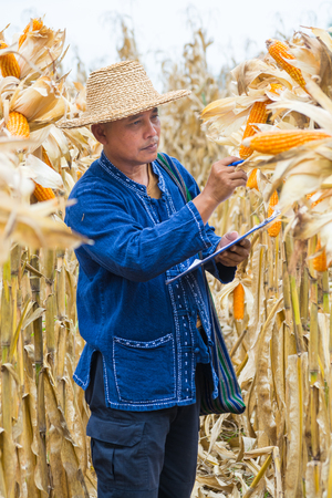 Asian Farmer or Biologist inspect Check or Analyze and Research Raw Corn Cob on Plant in Cornfield as Agricultural Researching or Farming as Agroindustry Concept. 写真素材