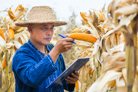 Asian Farmer or Biologist inspect Check or Analyze and Research Raw Corn Cob on Plant in Cornfield as Agricultural Researching or Farming as Agroindustry Concept. Standard-Bild