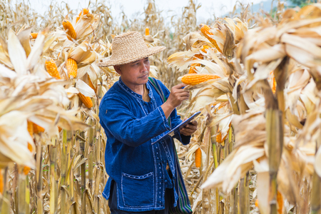 Asian Farmer or Biologist inspect Check or Analyze and Research Raw Corn Cob on Plant in Cornfield as Agricultural Researching or Farming as Agroindustry Concept. Фото со стока