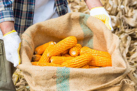 Corn Cob in Burlap Sack in Hand of Farmer or Worker in cornfield After Harvesting as Agriculture Lifestyle Concept.