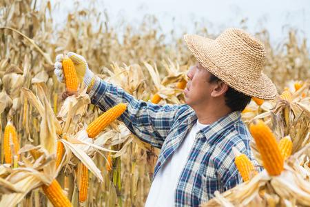 Asiatische männliche Landwirte analysieren Zuckermaiskolben im Feld oder in der Natur Cornfield Farm als Landwirtschafts-Lifestyle-Konzept. Standard-Bild