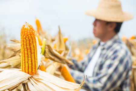 Closeup of Corn cob on Plant in Farm Field with Male Farmer as Background as Agriculture Lifestyle concept.