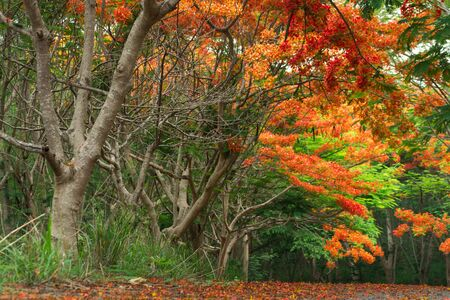 Scene of Flame Tree, Royal Poinciana or delonix regia in autumn season.  Red Flower bloom over road or street