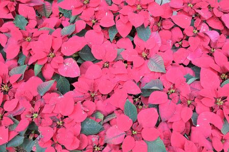 Background Pattern of Poinsettia or Christmas star Leaves turn from green to red at winter. Standard-Bild