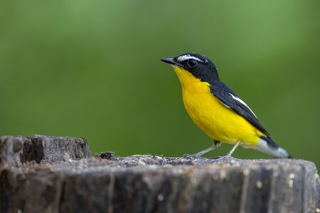 The Yellow-rumped Flycatcher is standing on the stump with blurred background.