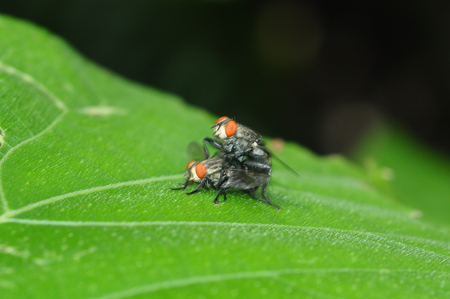 'compound eye': two house fly breeding  on nature background Stock Photo