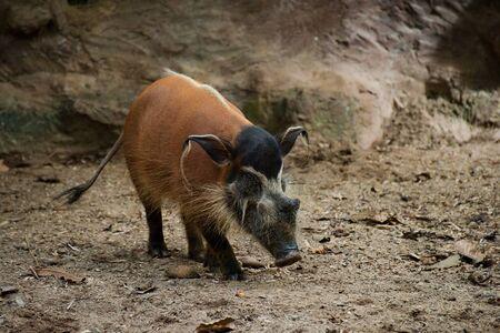 A hog pig on the ground
