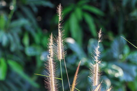 haulm: Summer Green Grasses Nature Background. Horizontal.