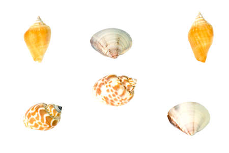 conch: Shell fish conch Shell on white background isolate