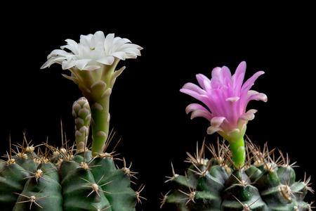 Blooming Cactus Flowers Gymnocalycium