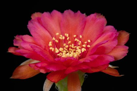 Cactus Flower Pictures Beautiful Blooming In Colorful. 免版税图像
