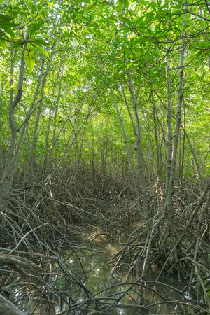 mangrove forest, green, swamp