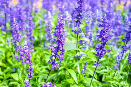 White butterfly on wild flower (purple flower)