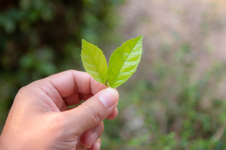 The background of the hand holding two soft green leaves