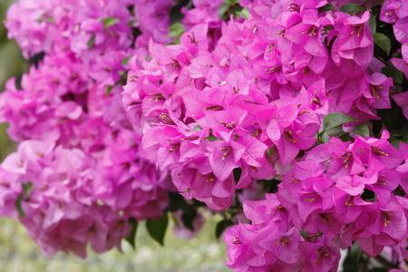 behind the scenes: Purple Bougainvilleas flowers Bougainvillea spectabilis ,vintage.