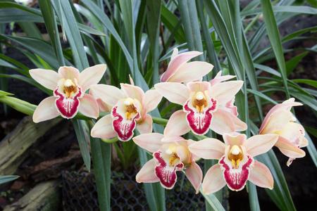 epiphyte: cymbidium orchid also known as Muskateer