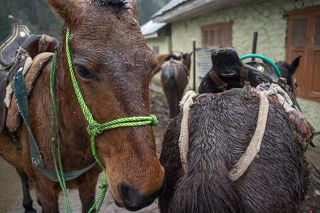 wide  wet: Horses in Kashmir, India, on a rainy day.