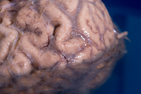 gyrus: Close-up detail of the sulci and gyri of a human brain.