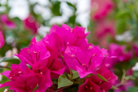 bougainvillea flowers: Close-up detail of deep pink Bougainvillea flowers